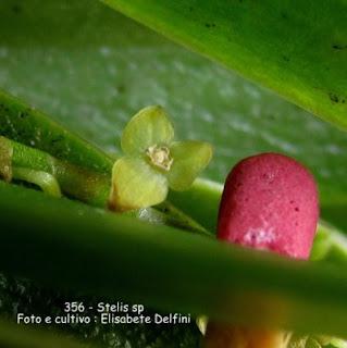 Stelis papaquerensis - 2 do blogdabeteorquideas