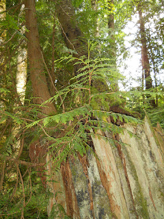 how to grow western red cedar from seed