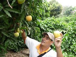 El mango Casmeño es reconocido a nivel internacional, se exporta a EE.UU y a los paises europeos