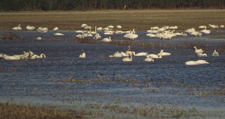 Wintering Tundra Swans