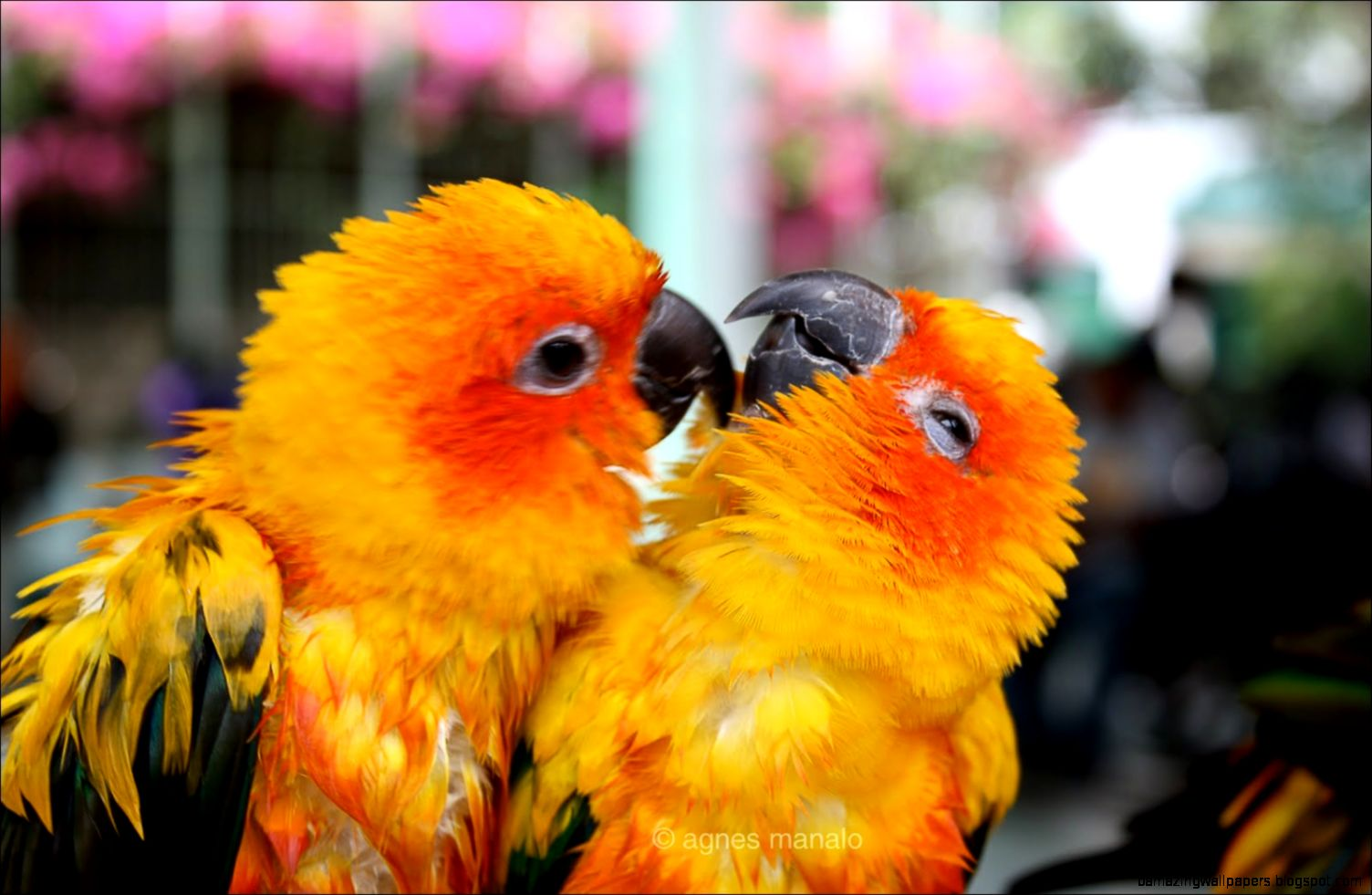 Love Birds Wallpaper Images : cute Love Birds Wallpapers Amazing Wallpapers