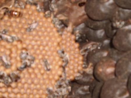 Matriz  da abelha tiúba