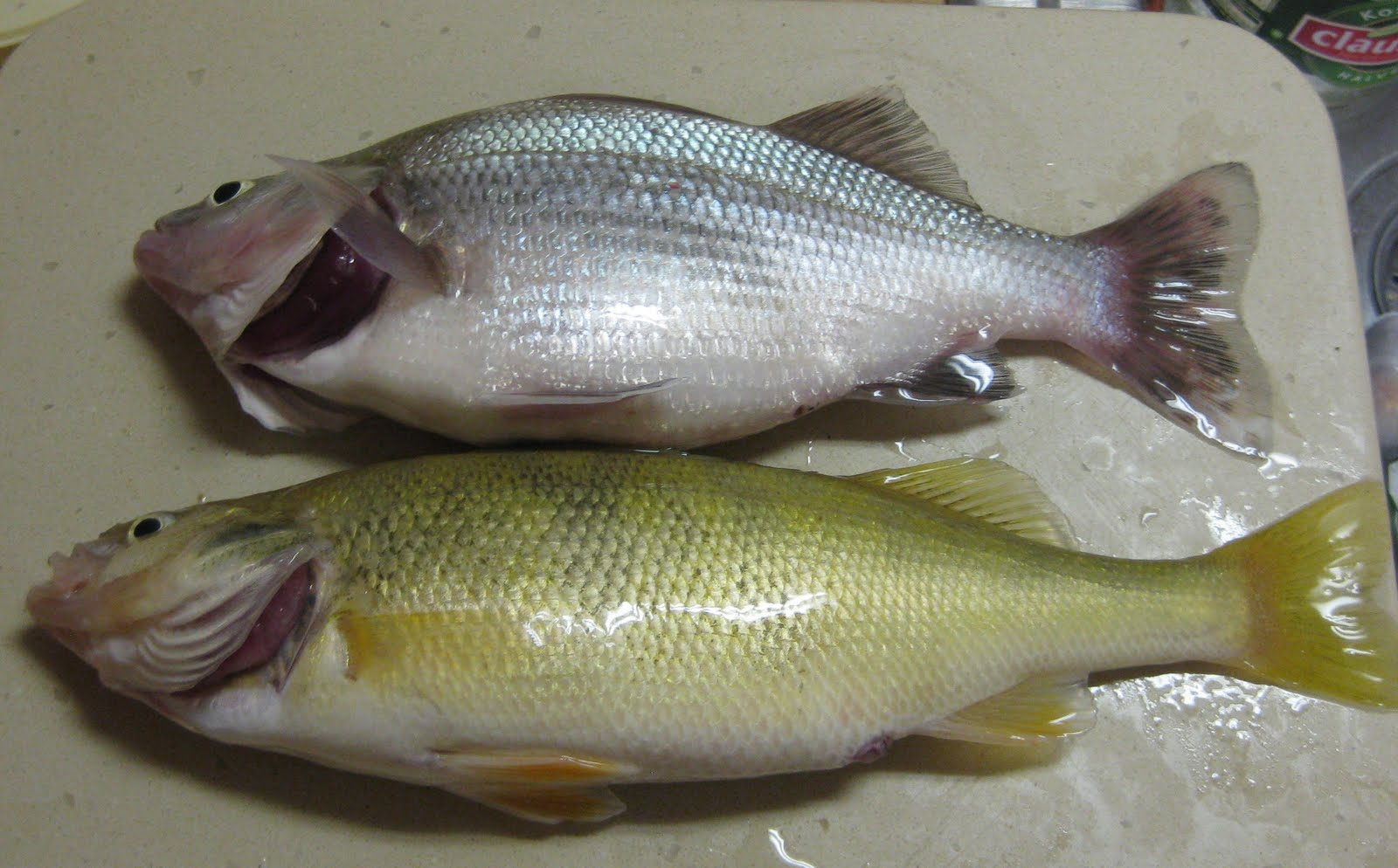 Lake erie fishing blog white perch or yellow perch the for Perch fish facts