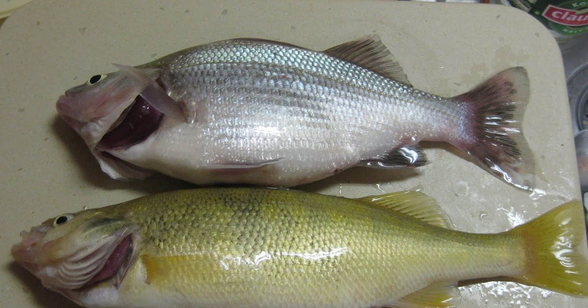 Lake erie fishing blog white perch or yellow perch the for Lake erie fish