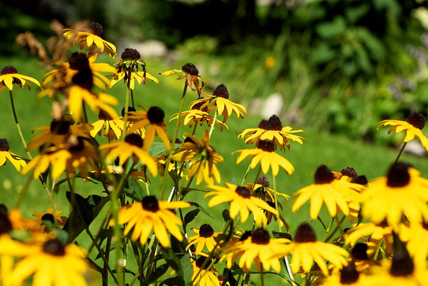 садовые-многолетники