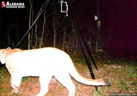 Alabama Puma on trailcam