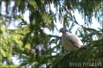 Lauku balodis (Columba palumbus)