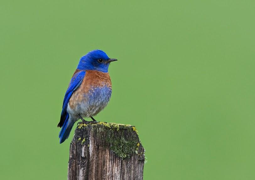 http://climate.audubon.org/birds/wesblu/western-bluebird