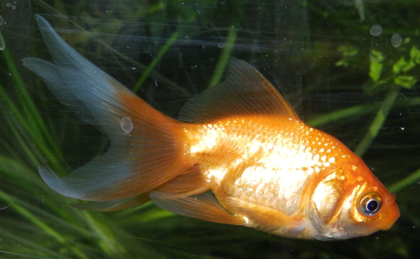 Reptiles Amphibians & Fish: THE RED ORANDA OR FANTAIL GOLDFISH