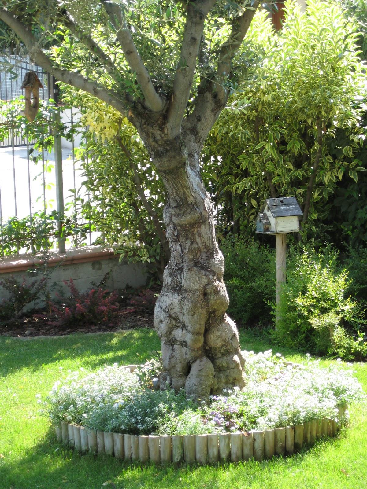 Ulivi da giardino prezzi idee per la casa - Foto di alberi da giardino ...