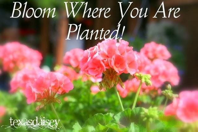 Image of Geranium Flowers Bloom Where You Are Planted http://texasdaisey.com