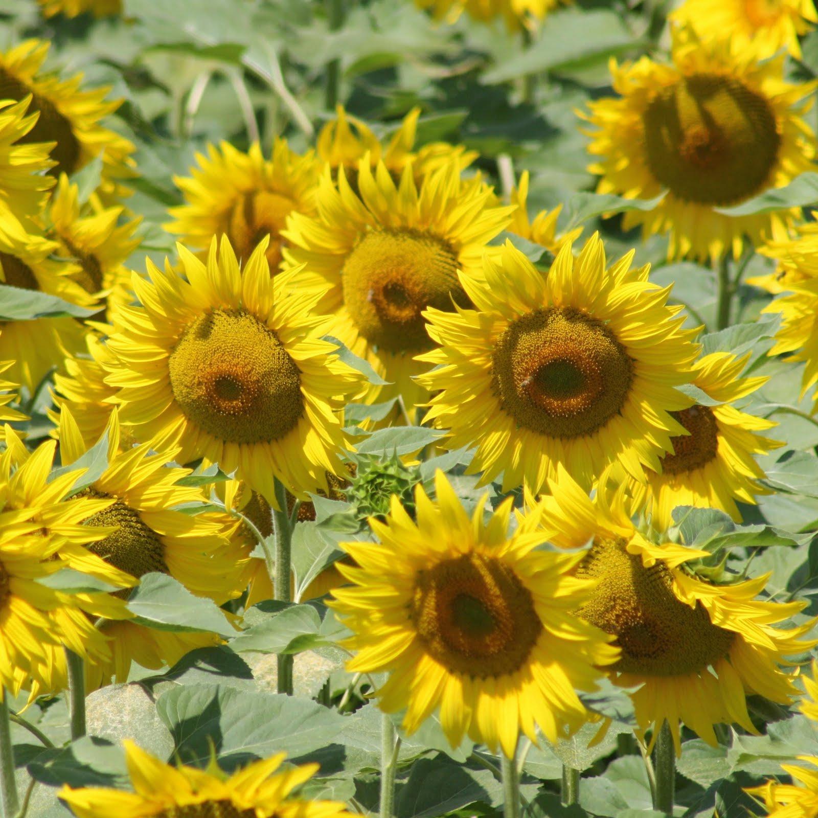 Immagini di campi di fiori - Immagini di fiori tedeschi ...