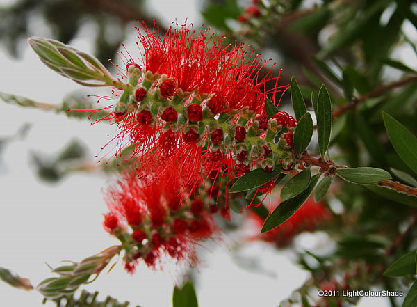 Bottlebrush (Callistemon citrinus) flower