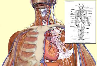 anatomy and physiology of human teeth pdf