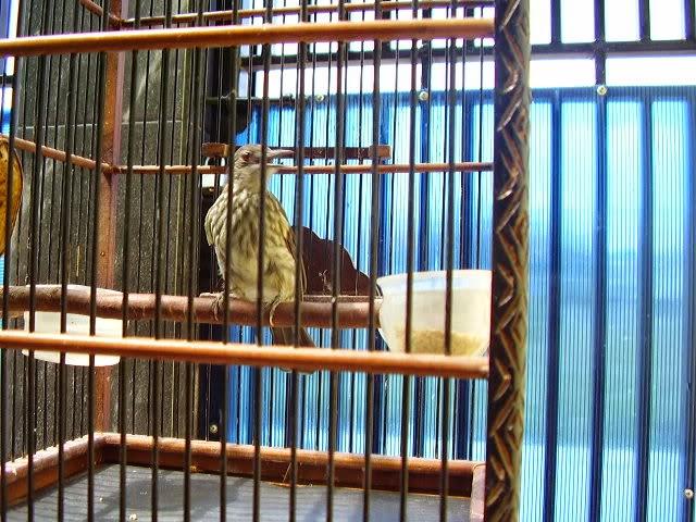 cara merawat burung bayeman agar cepat gacor tips