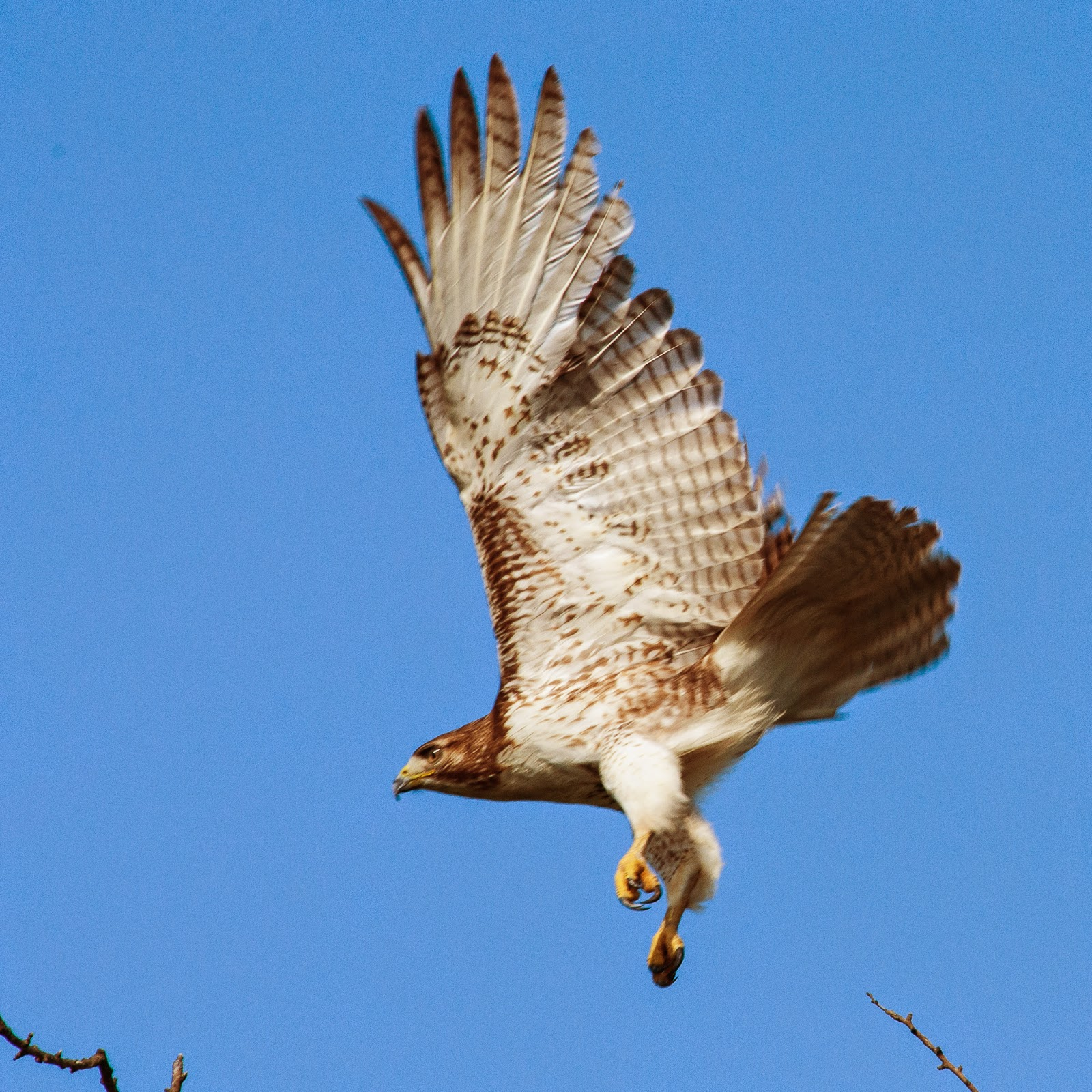 Red-tailed Hawk, Ennis
