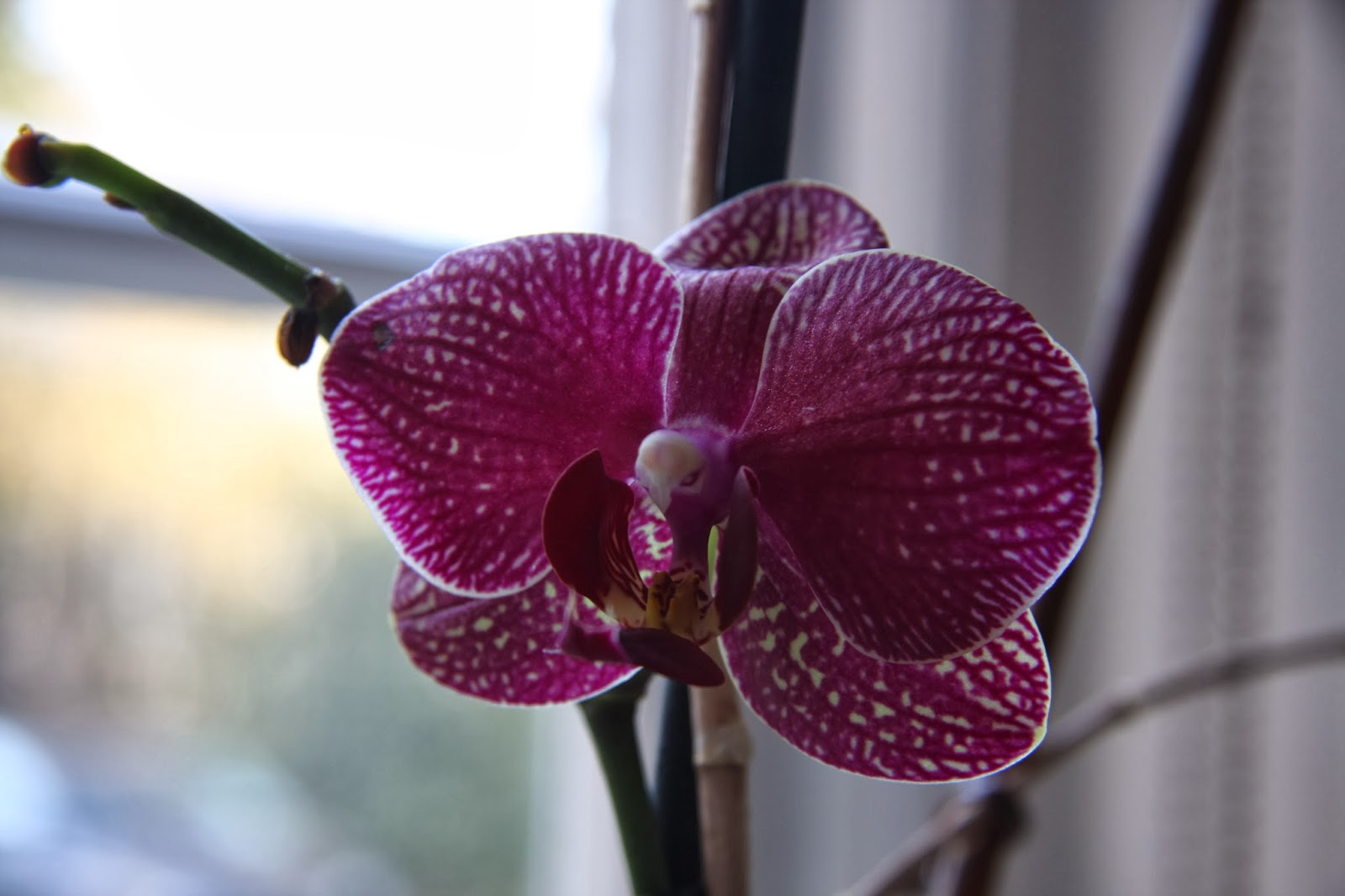 Pink & White Orchid