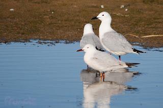 Gaviota picofina (Chroicocephalus genei - Slender-billed Gull)