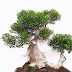 24+ Astonishing Bonsai Trimmer Ideas