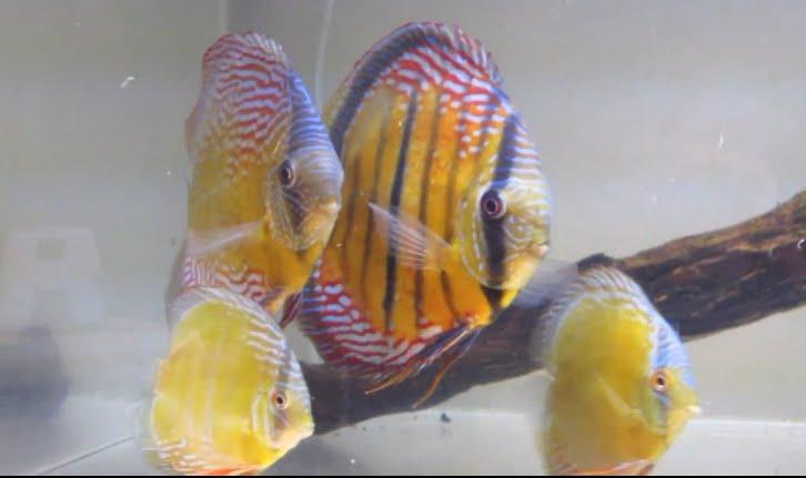 Fish zone discus fish care and breeding for Discus fish food