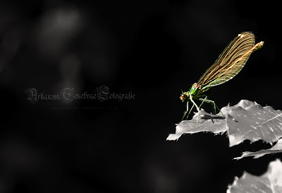 Insektenfotografie Libelle