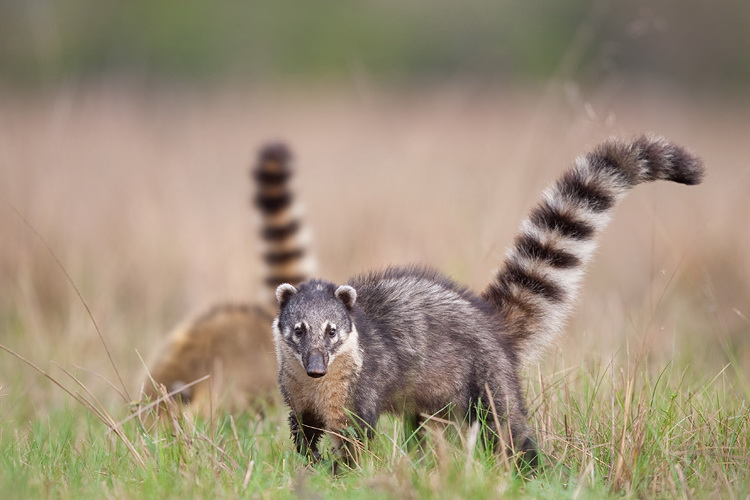 coati animal wildlife