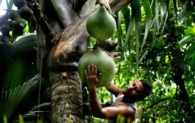 Double Coconut tree bears the largest seed known to science weighing around 25 kg