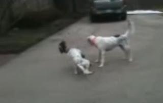 Anjing pura-pura mati ketika bermain