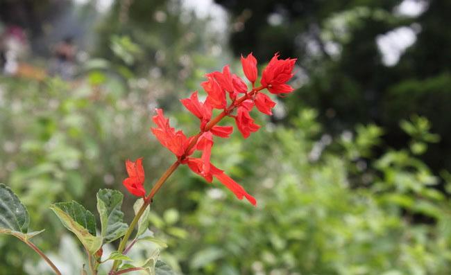 Scarlet Sage Flowers