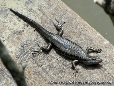 Mangrove Skink (Emoia atrocostata)