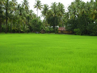 Paddy field in Kerala