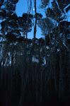 Teafa - Melaleuca alternifolia