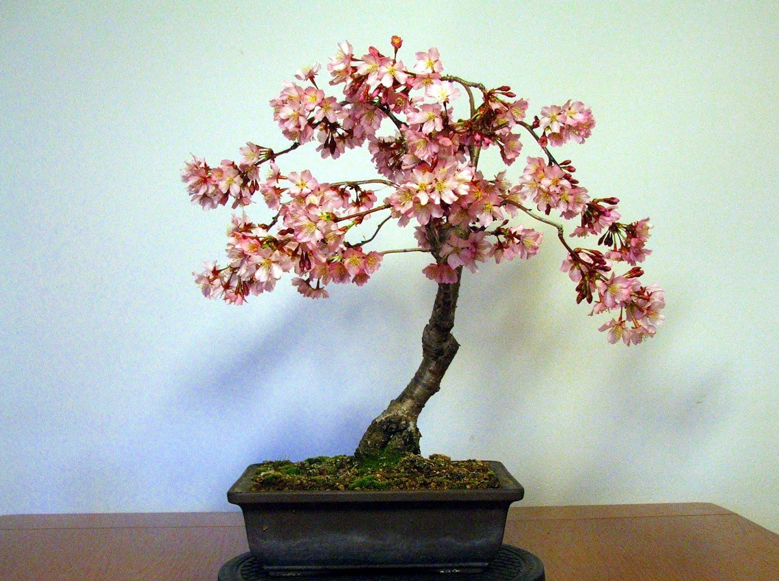 Evoluzione bonsai bonsai di ciliegio da fiore prunus for Bonsai ciliegio