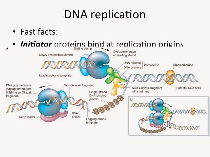 dna replication transcription and translation essay