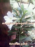 Adenium putih - Cara menyambung tanaman  bunga Adenium