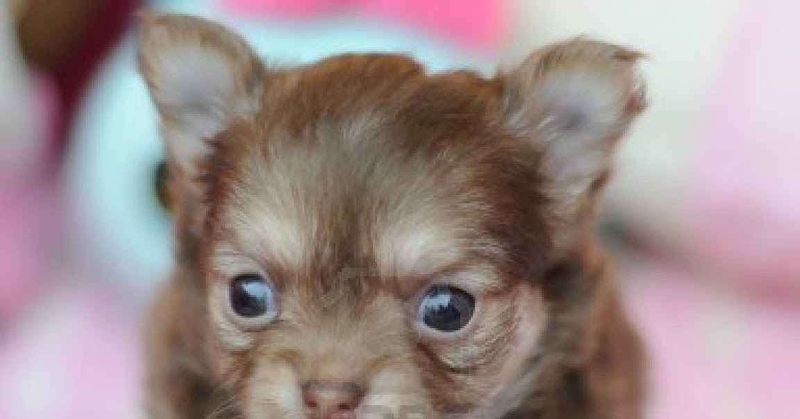 Cute Dogs Cute Chihuahua