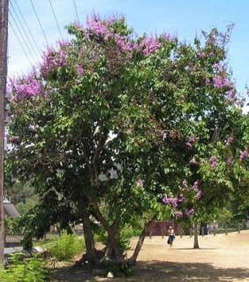 Lilas des indes goyavier fleur flore de l le de la r union - Lilas des indes racines ...