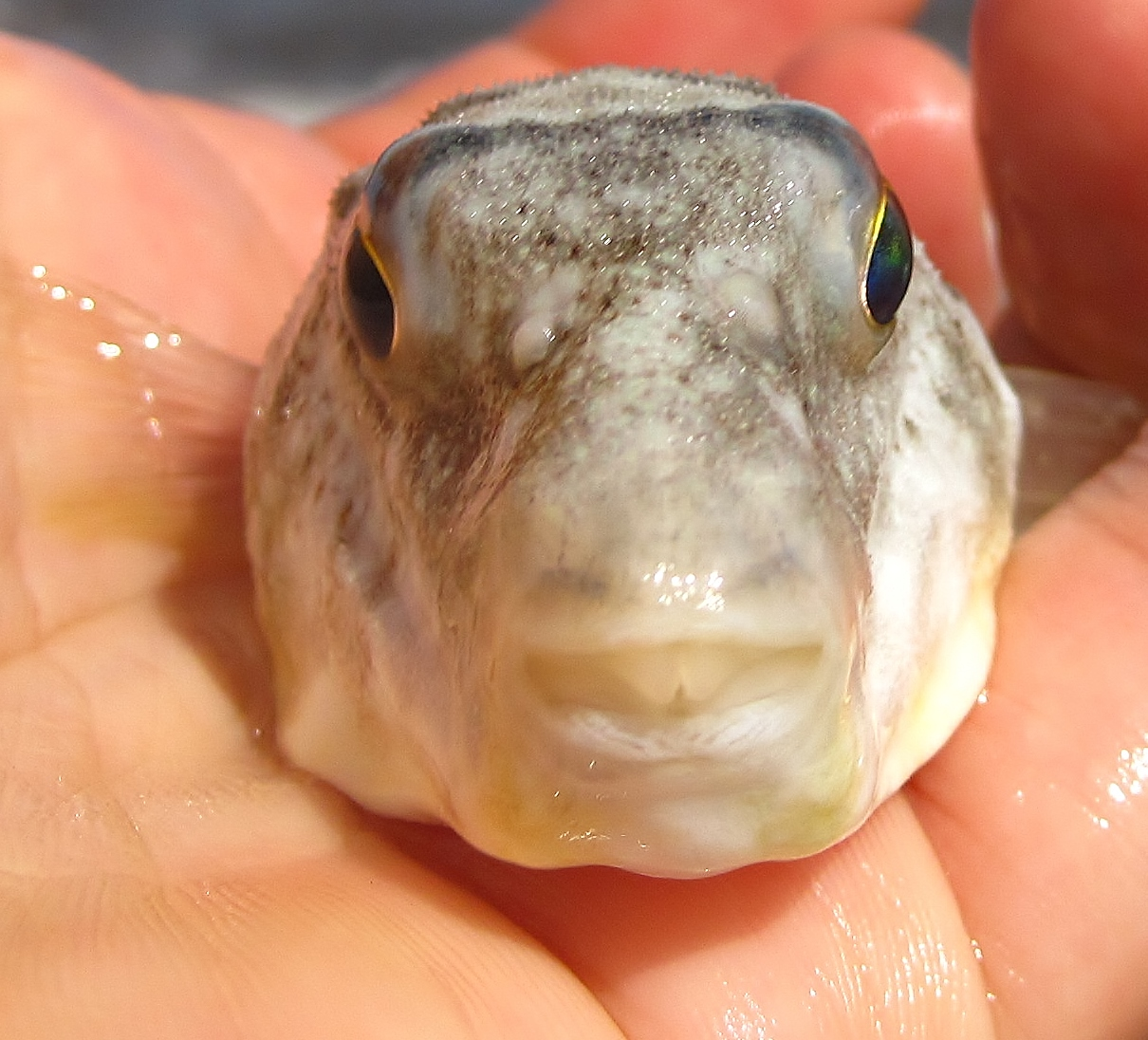 Nature on the edge of new york city puffers puff up in for Puffer fish puffing