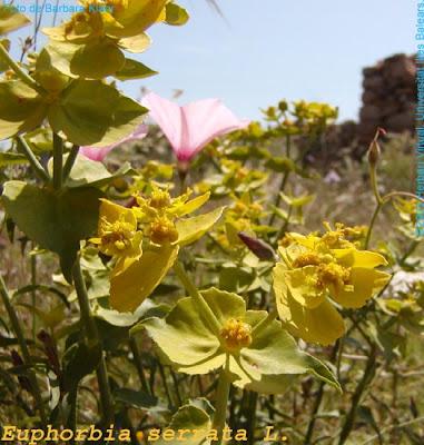 Euphorbia_serrata