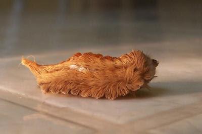 [Image: Puss%2BCaterpillar.jpg]