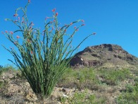Mascot of the Month: Ocotillo