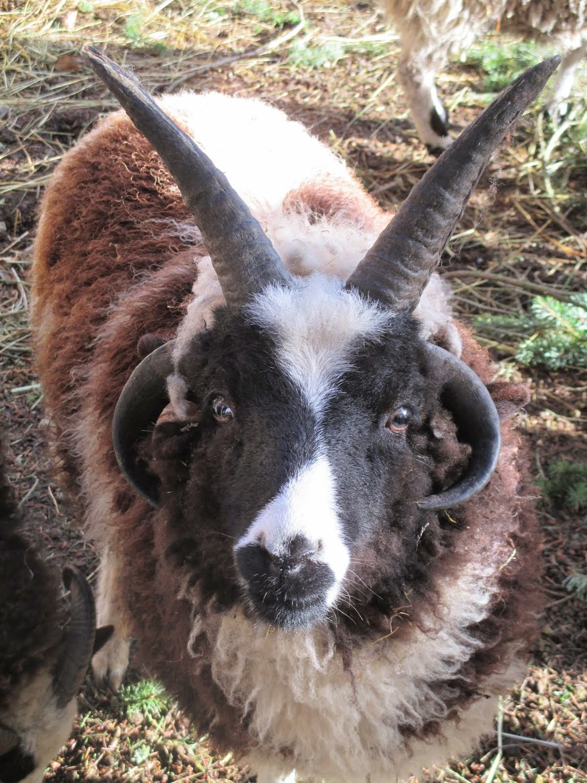 Blitzen ~ One of our Jacob Sheep