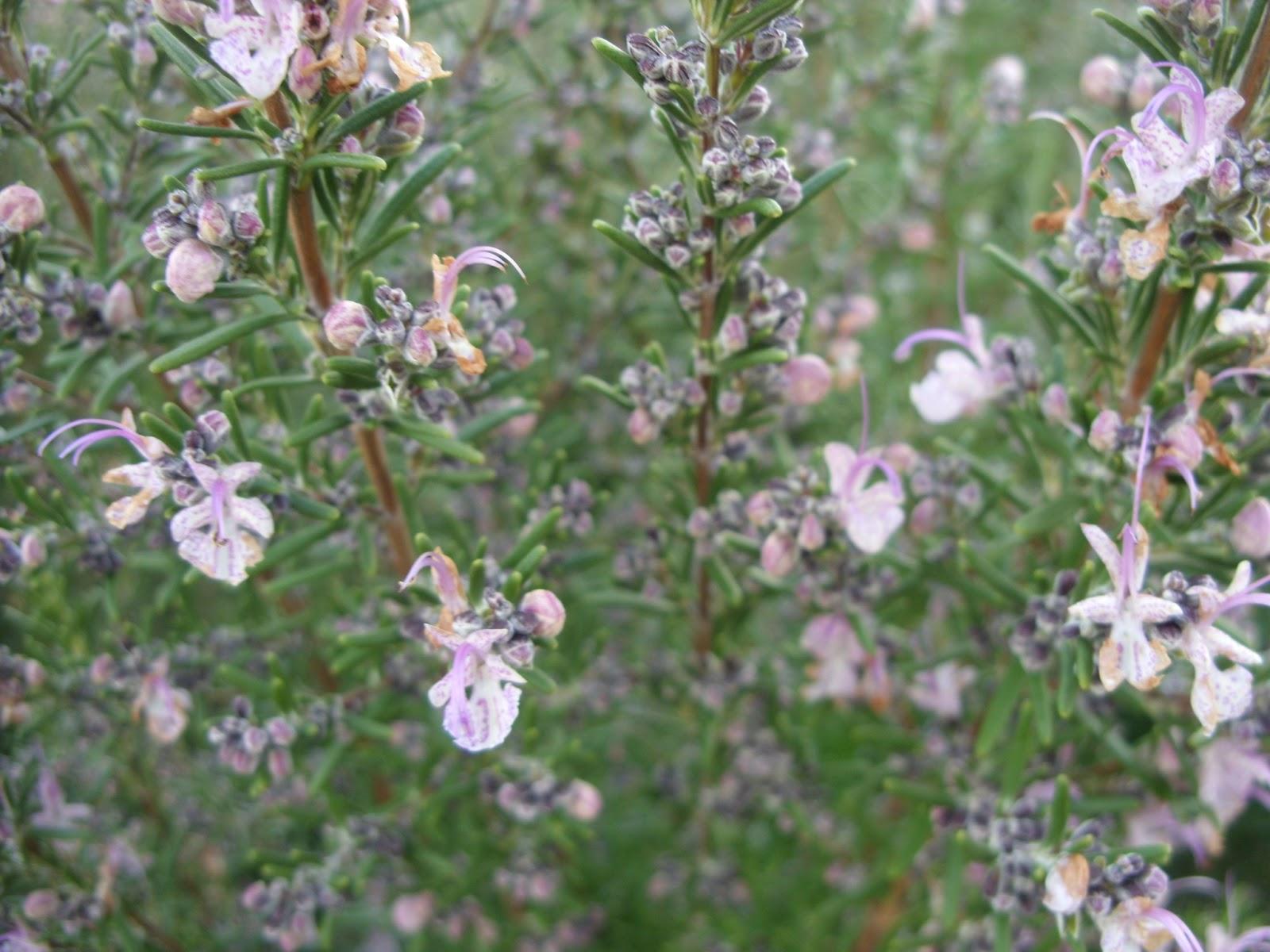 flores do meu jardim letra:Jardim Autóctone: Alecrim (Rosmarinus officinalis)