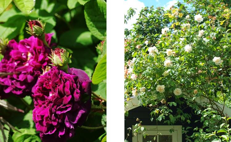 Duftende historiske roser i haven