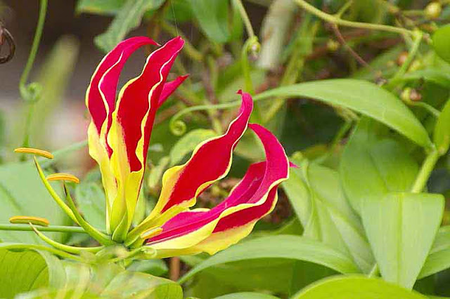 red and yellow flower, Flame Lily