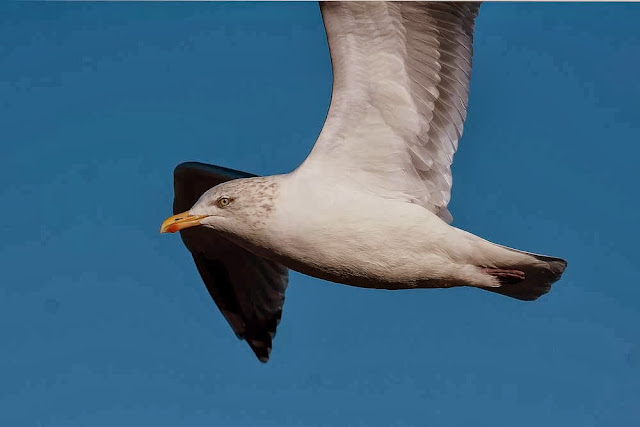 Adult herring gull in flight