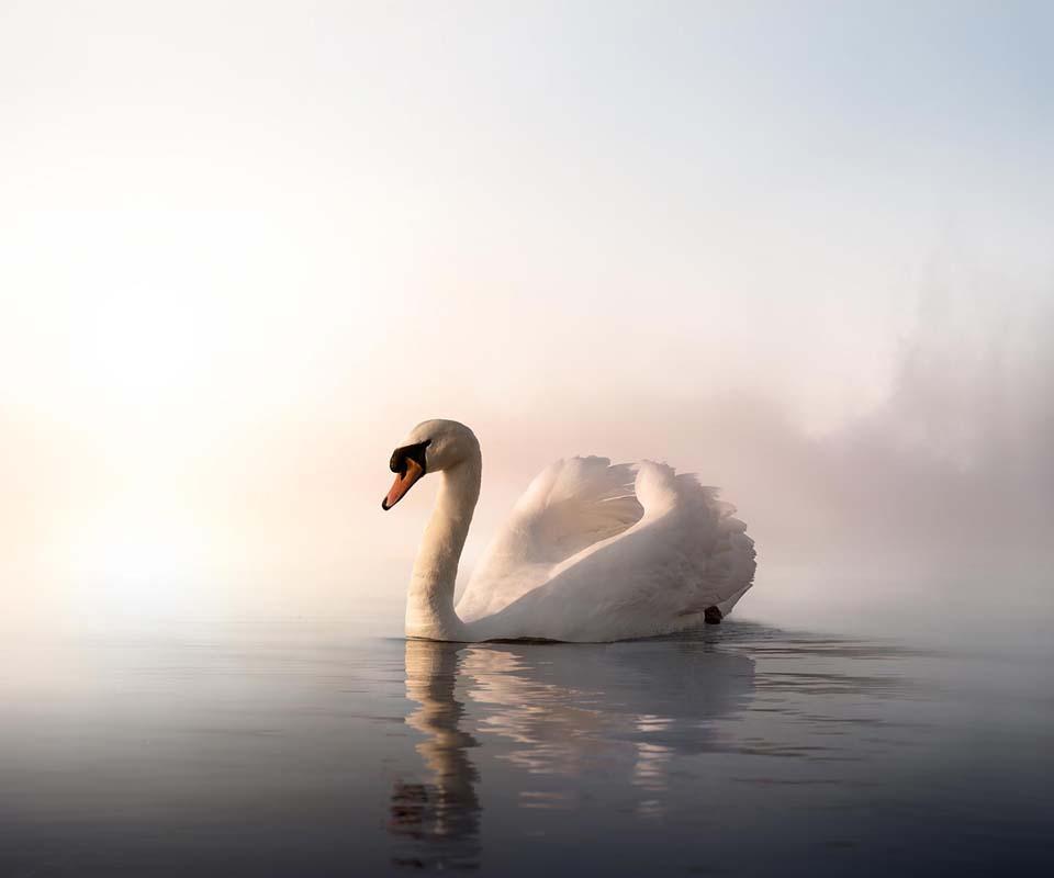 Um cisne solitário