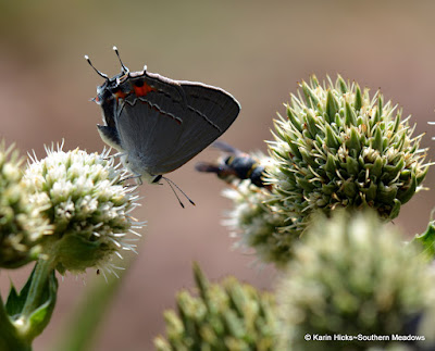 Gray hairstreak butterfly on Rattlesnake Master
