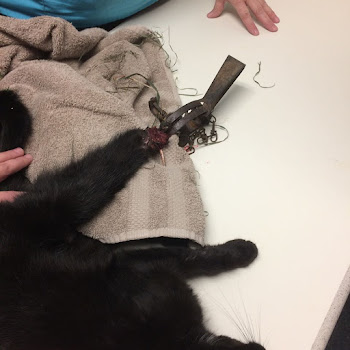 Local Cat Loses Foot in Animal Trap