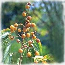 Fruit de Spindus Mukorossi